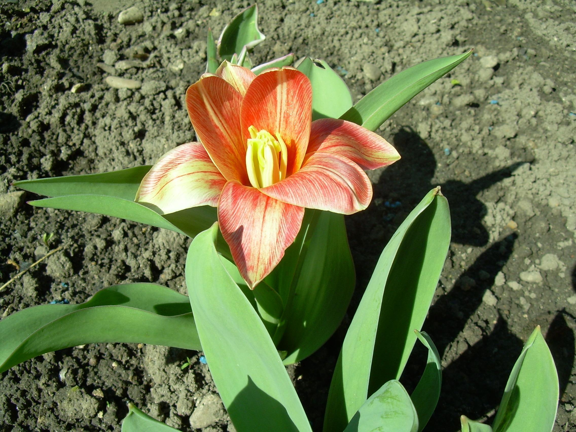 fête tulipe hollande 2017